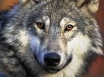 dumouchelwolf