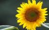 Sunflower27
