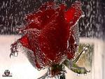 عطر زهرة النرجس