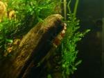 Discussions sur vos invertébrés (escargots, crevettes, crabes et autres ...) 1105-36