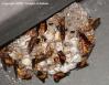Petit nid de Polistes rothneyi photographié en Chine dans le recoin en tôle d'un arrêt de métro