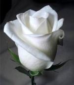 الوردة البيضاء