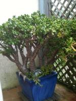 Les succulentes 775-39