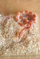 Sandro-reptile