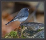 Junco_bleu