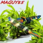 MAGUY85