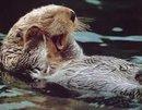 Lady Otter Latté