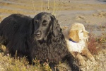 Education du golden retriever 263-41