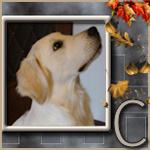 Education du golden retriever 734-98
