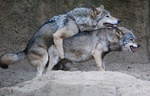 Alpha_Wolf
