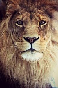 Lion Man