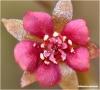 Drosera (rossolis) D_prol10