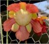 Sarracenia (plante à urne) Sarra_10