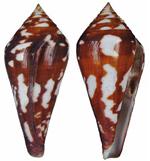 Conus (Harmoniconus) da Motta, 1991 214-31