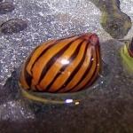 Les Neritidae - Rafinesque, 1815 721-72