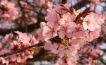 fleurdecerisier