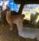 Lama Gourmand