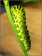 Gosenica