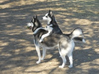 huskies81