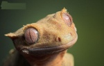 rachodactylus