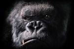 gorille argenté