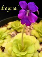 draymal