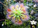 Dionaea Muscipula et ses cultivars 89-29