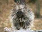 Napoluskr Beast (W)