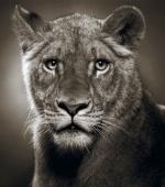 La Lionne De Verre