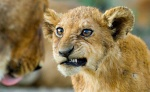 el_lion