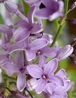 BloomingLilac