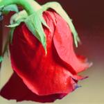 أميرة الورد