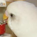 JapaneseBird