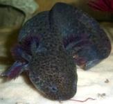 axolotldu55