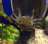 Forum Axolotl-Passion 6755-21