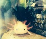 Forum Axolotl-Passion 6806-31