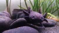 Forum Axolotl-Passion 9539-45