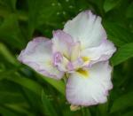 capucine rose