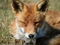 Foxtrotte