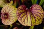 Plantes--carnivors