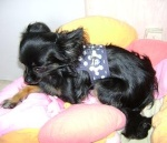 Sauvetage, Chihuahua perdu, trouvé 110-93