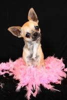 Sauvetage, Chihuahua perdu, trouvé 1506-70
