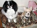 Sauvetage, Chihuahua perdu, trouvé 315-11