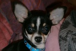 Sauvetage, Chihuahua perdu, trouvé 529-44