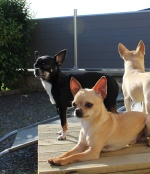 Sauvetage, Chihuahua perdu, trouvé 542-26