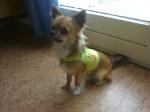 Sauvetage, Chihuahua perdu, trouvé 68-99