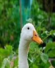 Duck@ss Farm