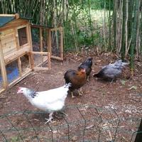 Comportement et caractère de vos poules 2052-59