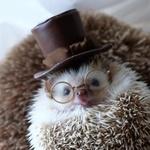 Ostrihaný ježko