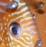 Alimentation pour les poissons d'eau douce 1560-26